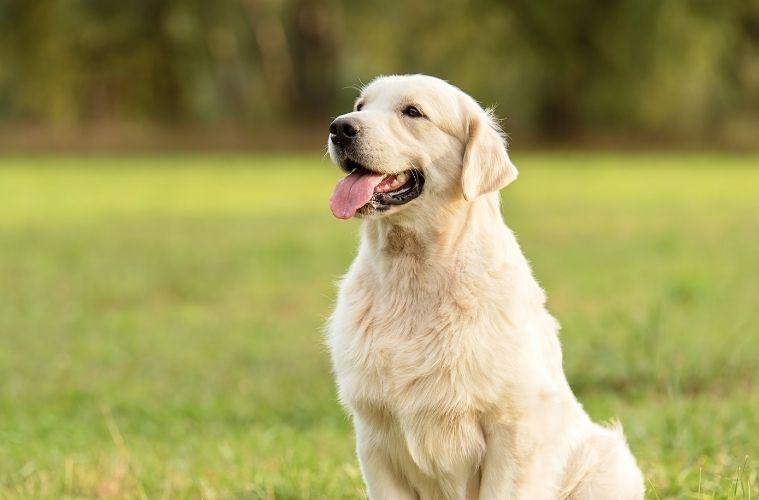 The Best Dog Breeds To Accompany a Golfer